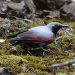 Wallcreeper-Sichuan 2012