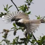 Sichuan-Willow-Tit-2012