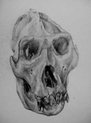 Study of a Gorilla Skull