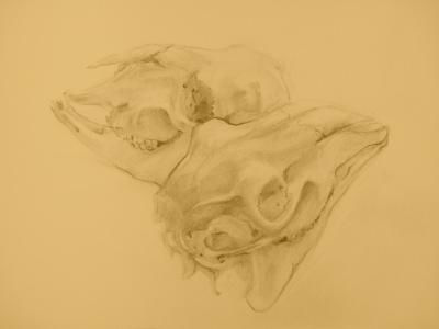 Study of Two Deer Skulls