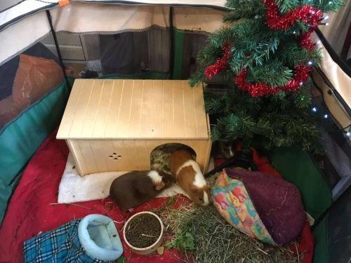 festive piggies