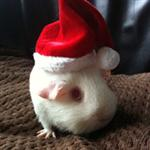 Christmas_Guinea_Pig_thumb