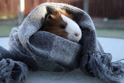 winter piggy