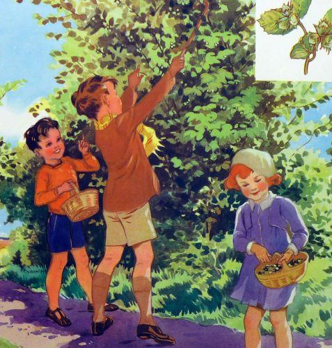 Vintage School Poster 1938 - Hazel Nuts
