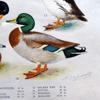 """Vintage School Poster - """"Water and Marsh Birds"""""""