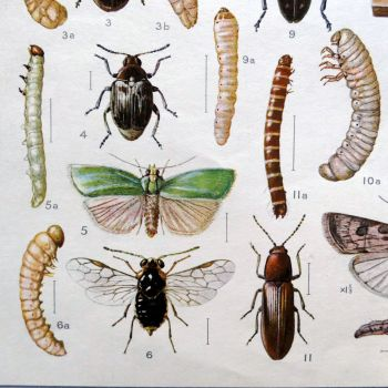 """Vintage School Poster - """"Harmful Insects"""""""