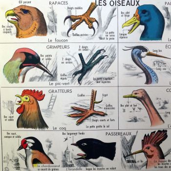 1961 French Classroom Print - Birds/Frog