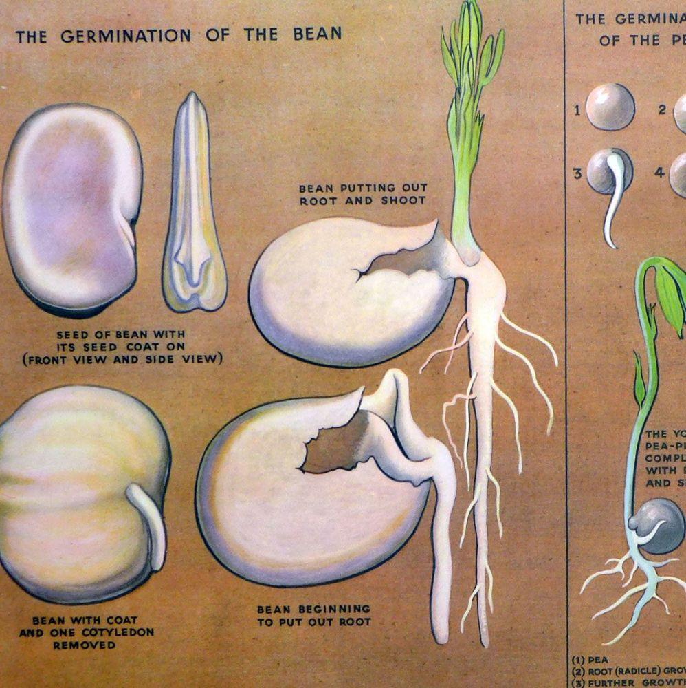 Vintage School Poster 1938 - How Seeds Grow