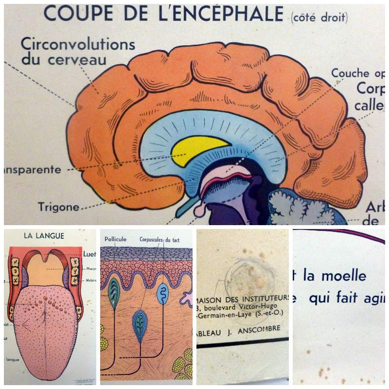 vintage french medical and anatomy posters, brain and skin