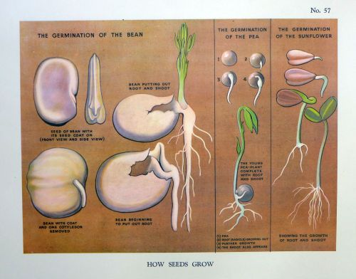 Vintage School Poster 1938 - How Seeds Grow