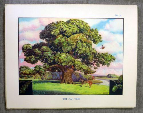 Vintage School Poster 1938 - The Oak Tree