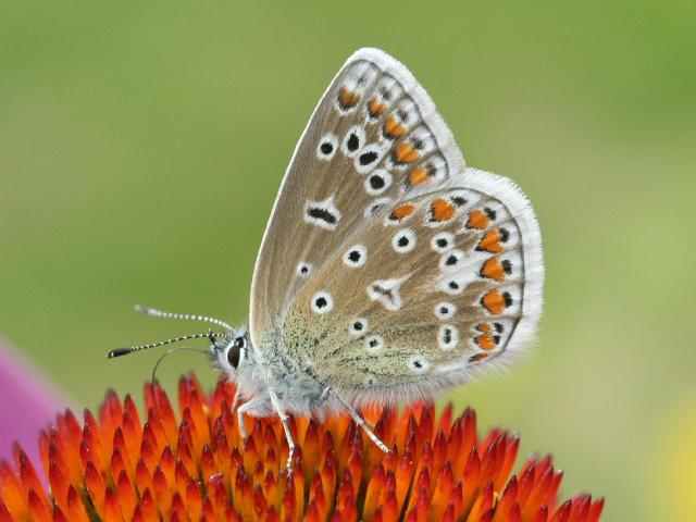 All you need is a square metre of garden to help butterflies