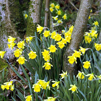 Native British Daffodils