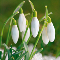 Common Snowdrops