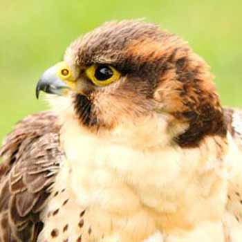 Falconry Handling near Chichester
