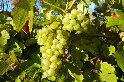 Find out how grapes become lovely wine!