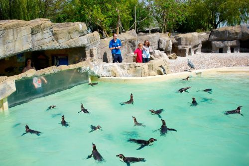 Penguin Feeding Experience at Drusillas Park