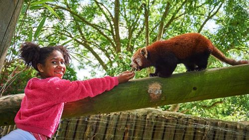 You can meet Red Pandas at Drusillas Park