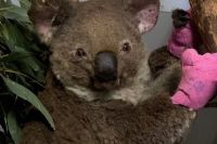 Help koalas and wildlife affected by wildfire in Autralia