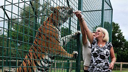Meet a Big Cat at the Big Cat Sanctuary in Kent