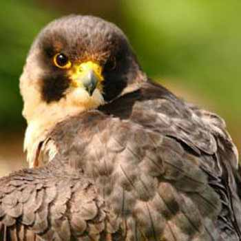 Falconry Handler in West Sussex