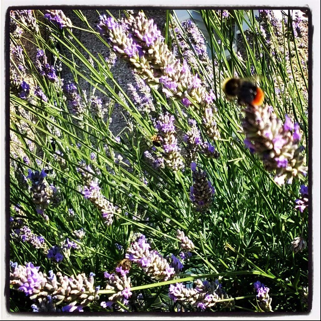 lavender & bee 2