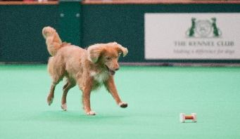 Voros retrieve at Crufts