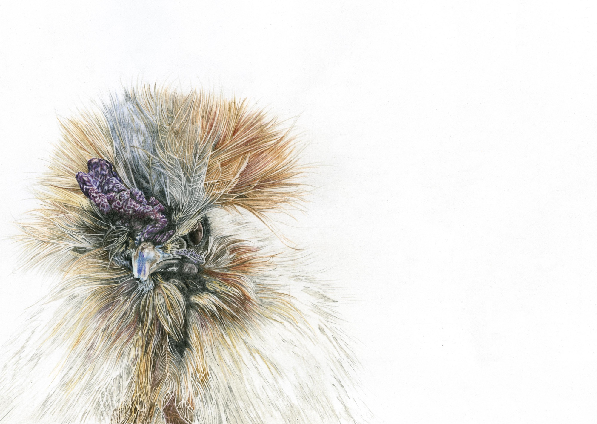 Silkie chicken coloured pencil drawing