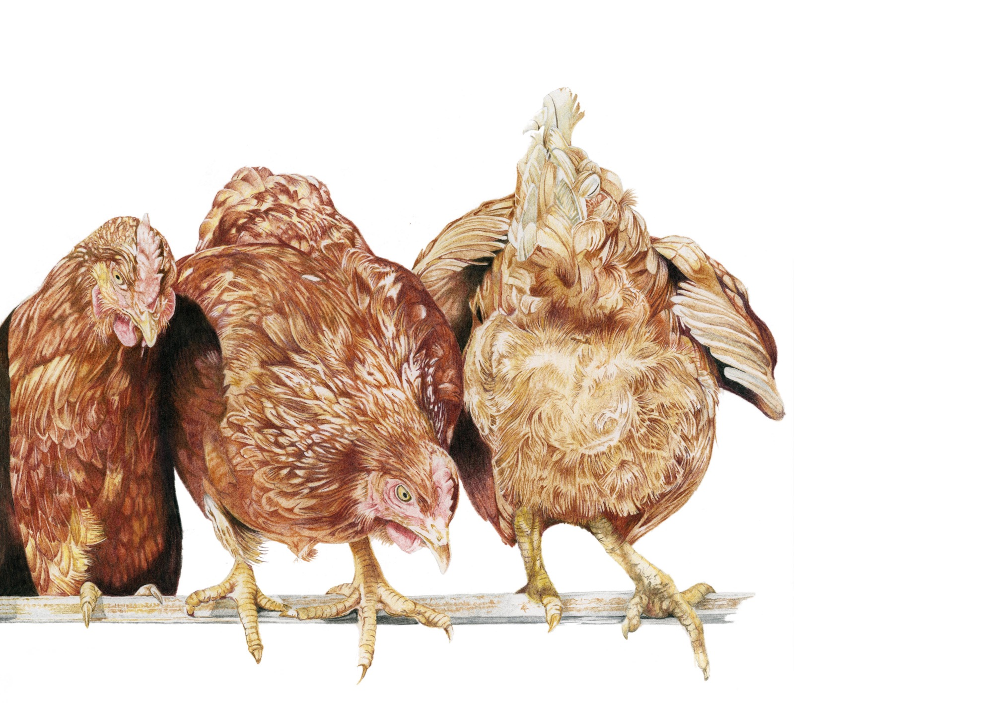 chicken coloured pencil drawing
