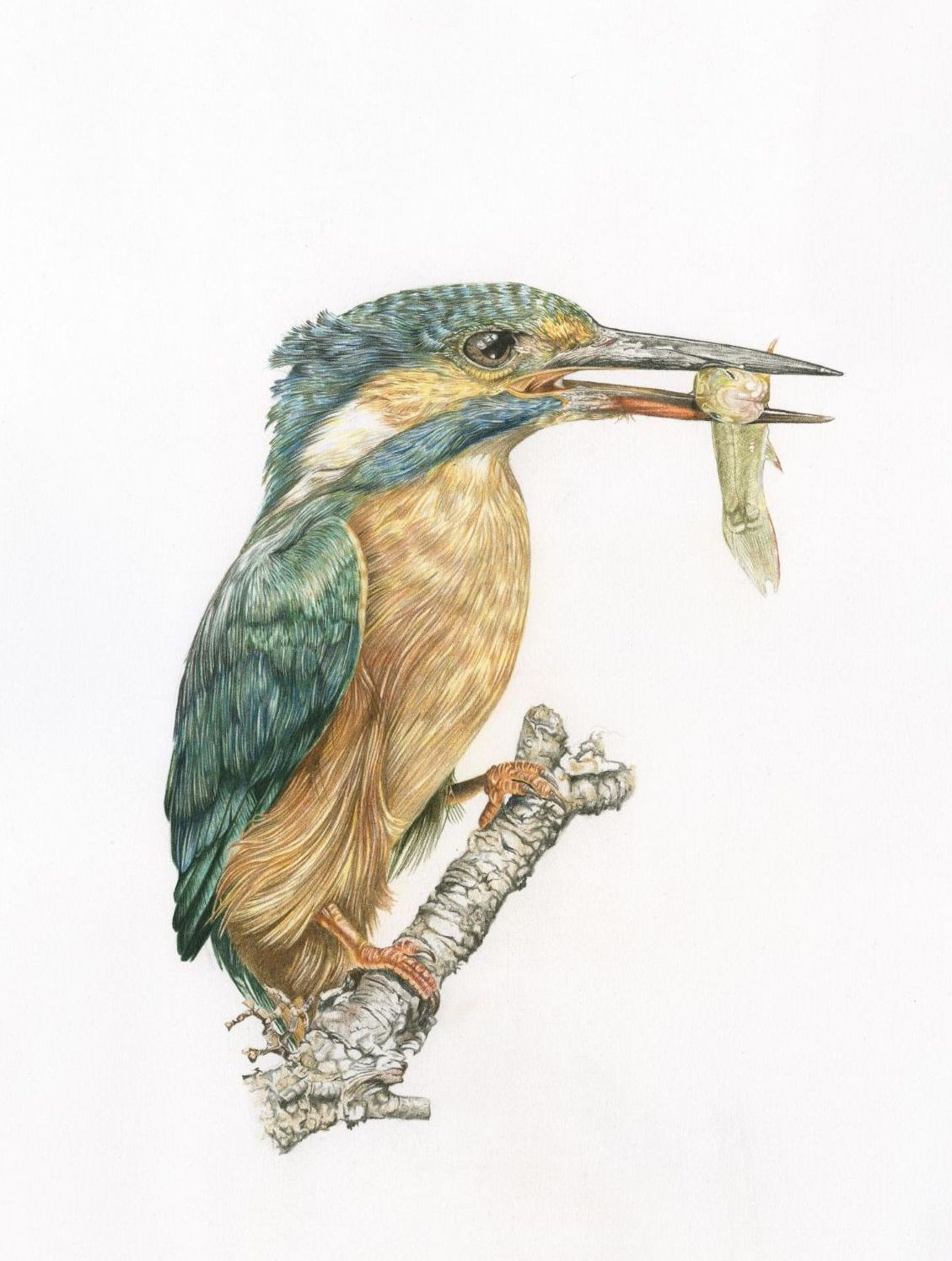 Kingfisher British Wildlife  coloured pencil art