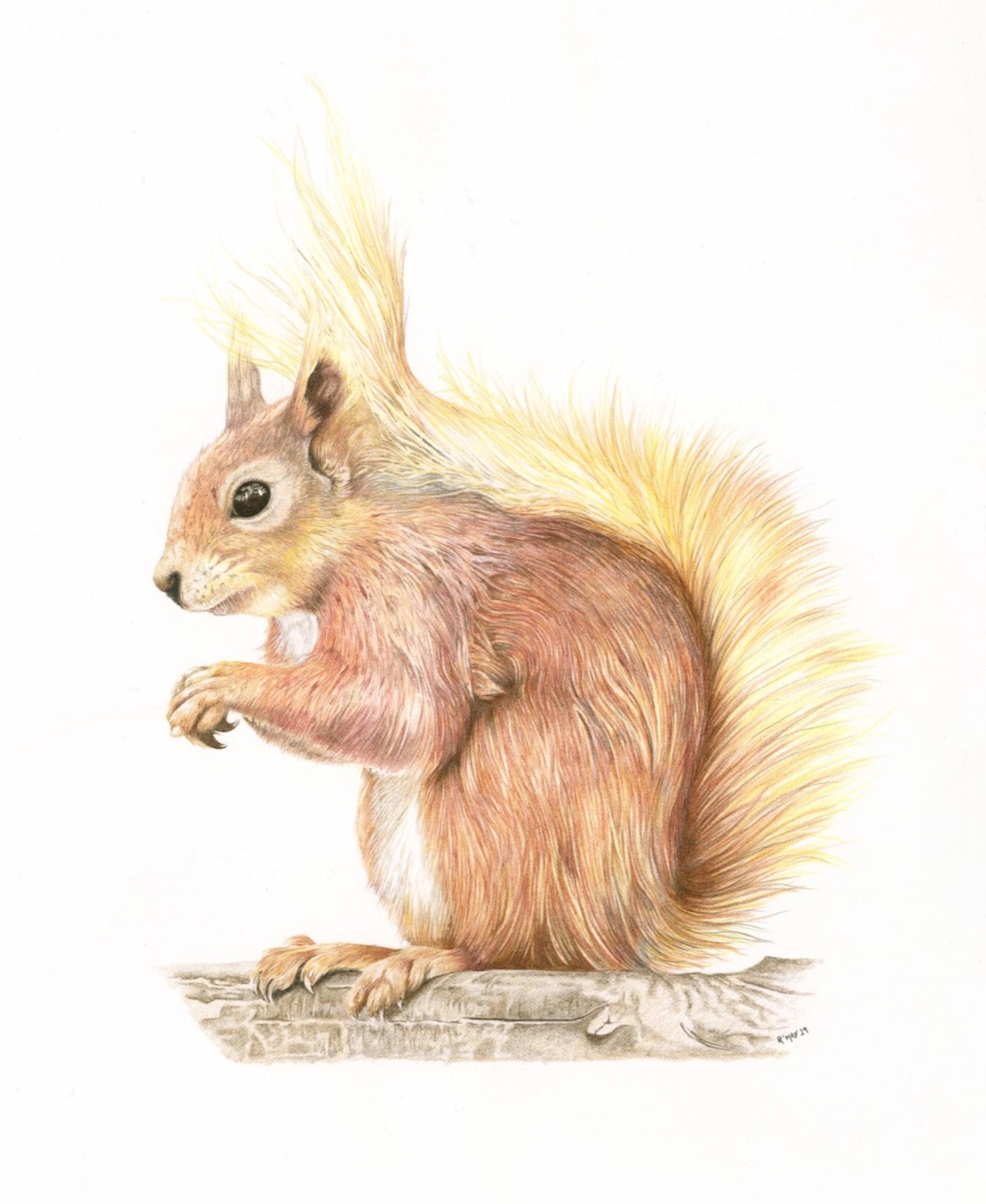 Red Squirrel Wildlife Art for sale