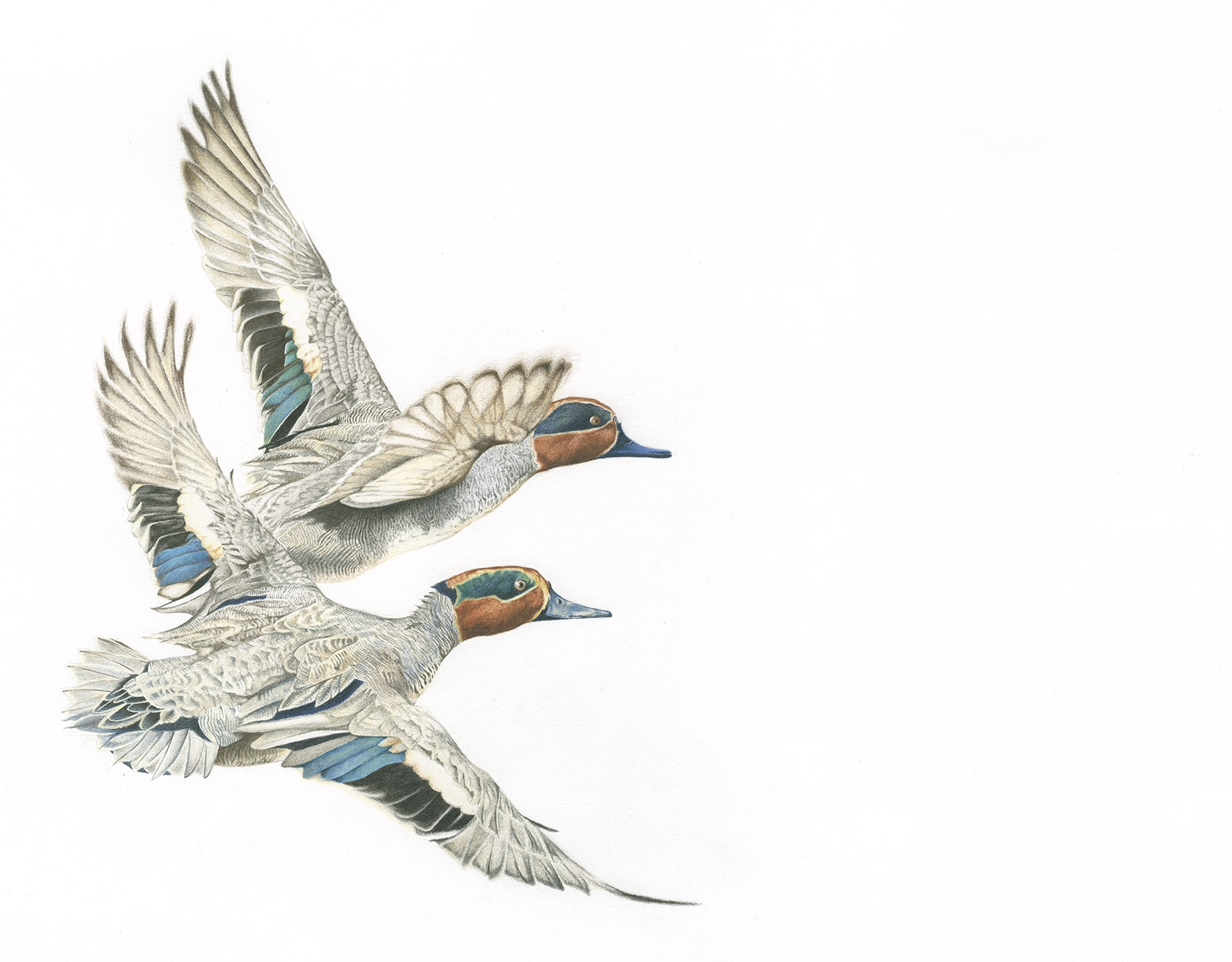 Flying Teal Art for Sale