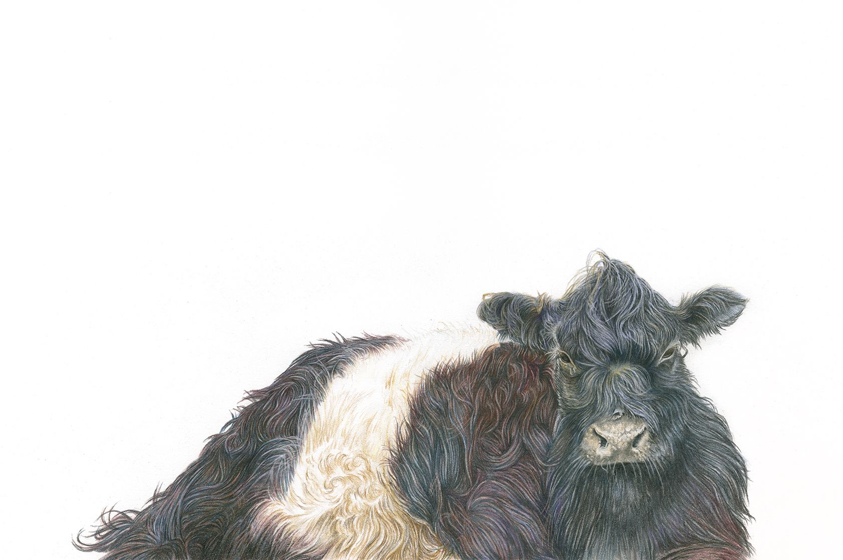 Belted Galloway Art