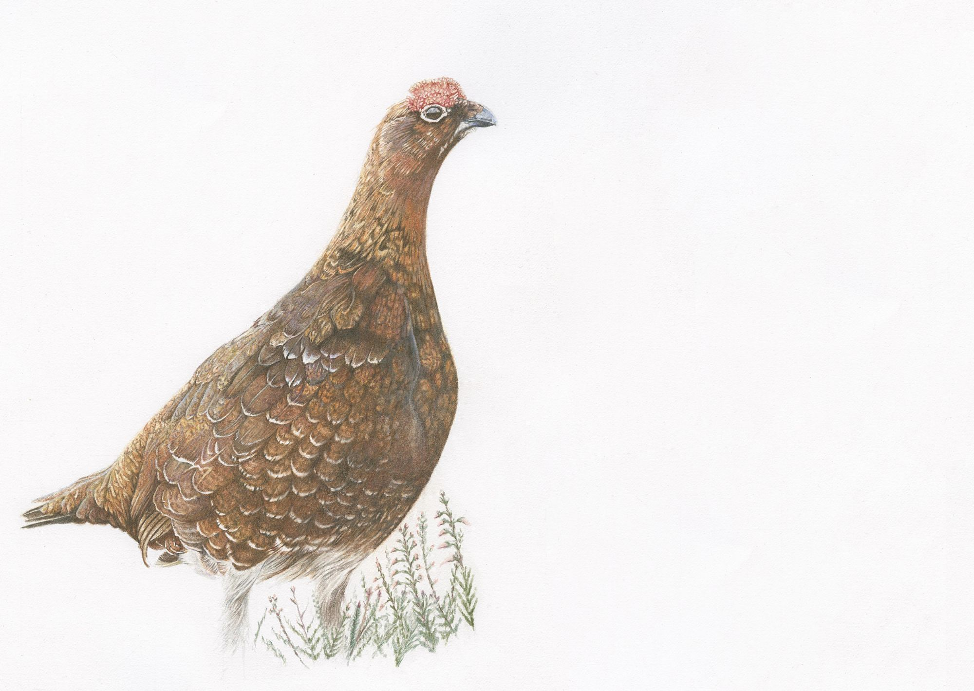 Red Grouse Pencil Drawing