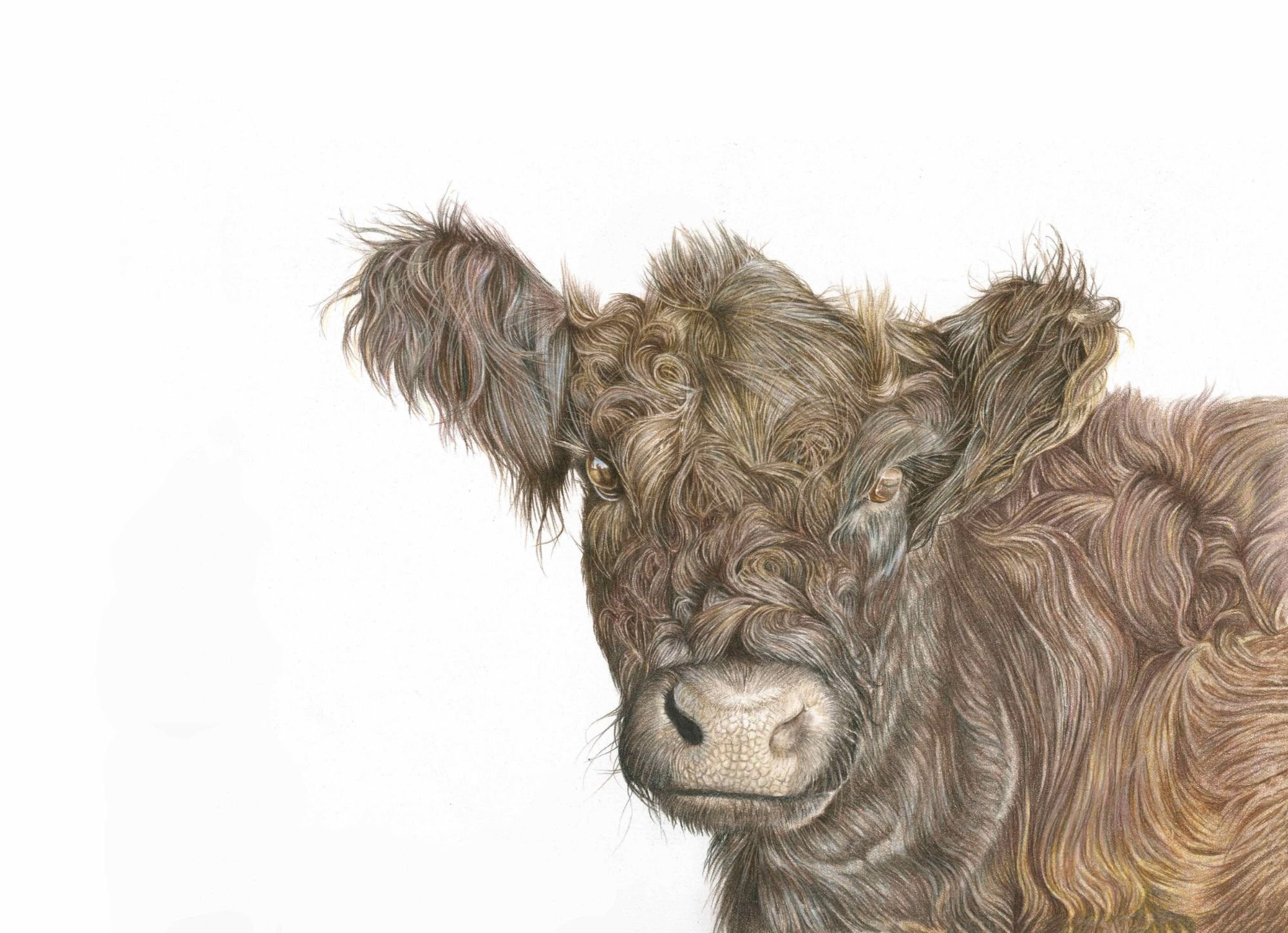 British Cow Art Drawing for Sale