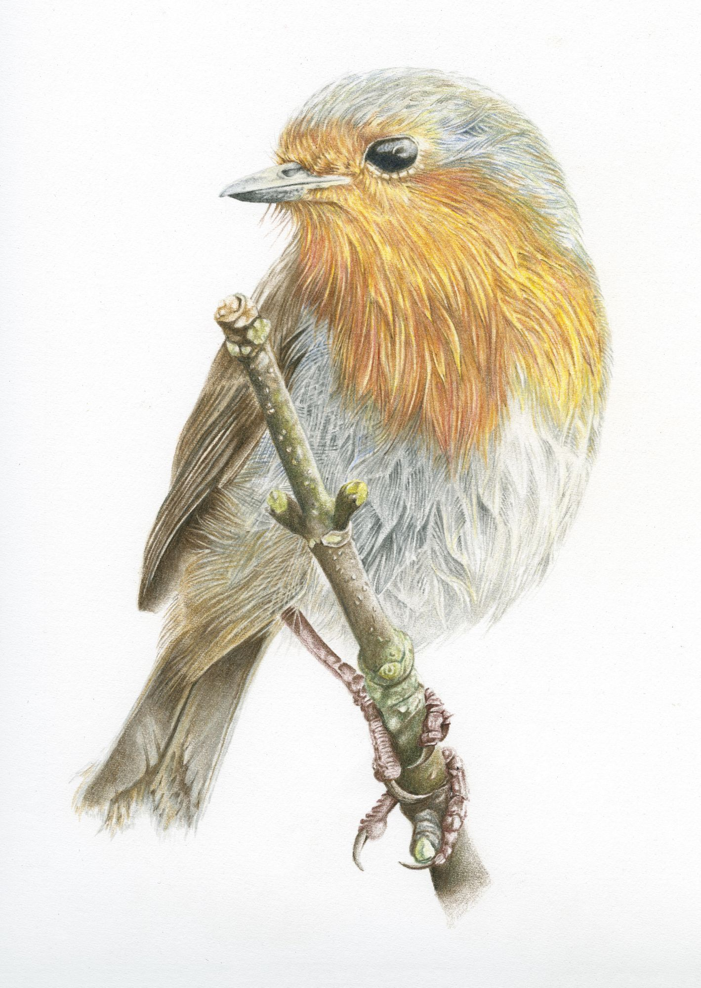 British Bird Wildlife Art for Sale