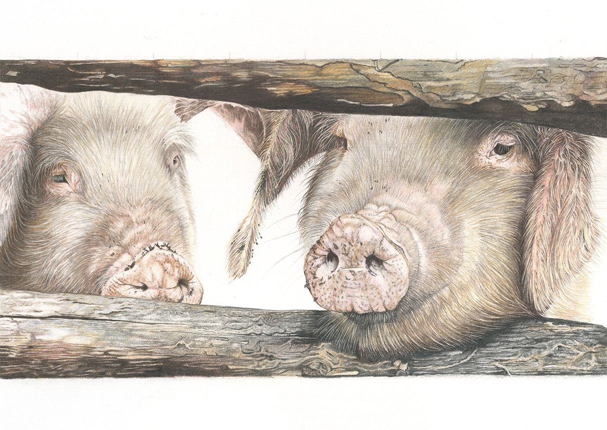 Pig coloured pencil art