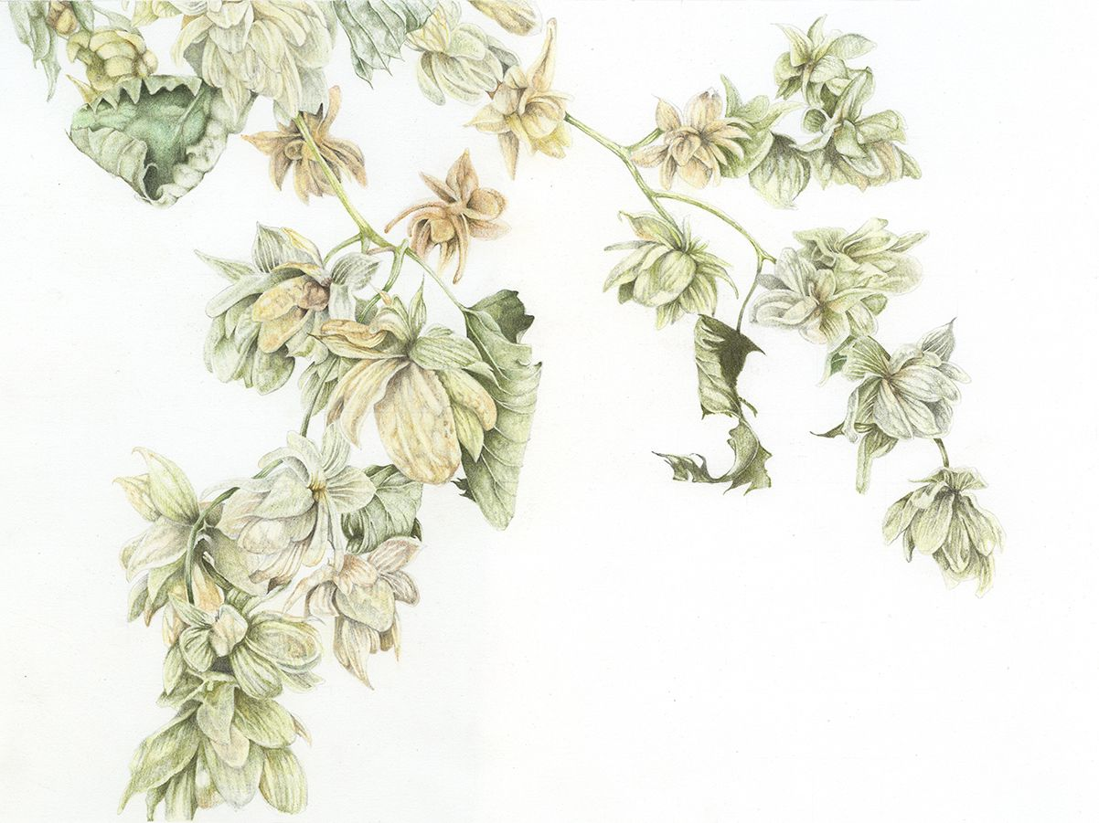British Hops Botanical Drawing