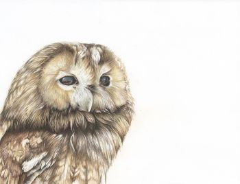 Tawny Owl - Framed