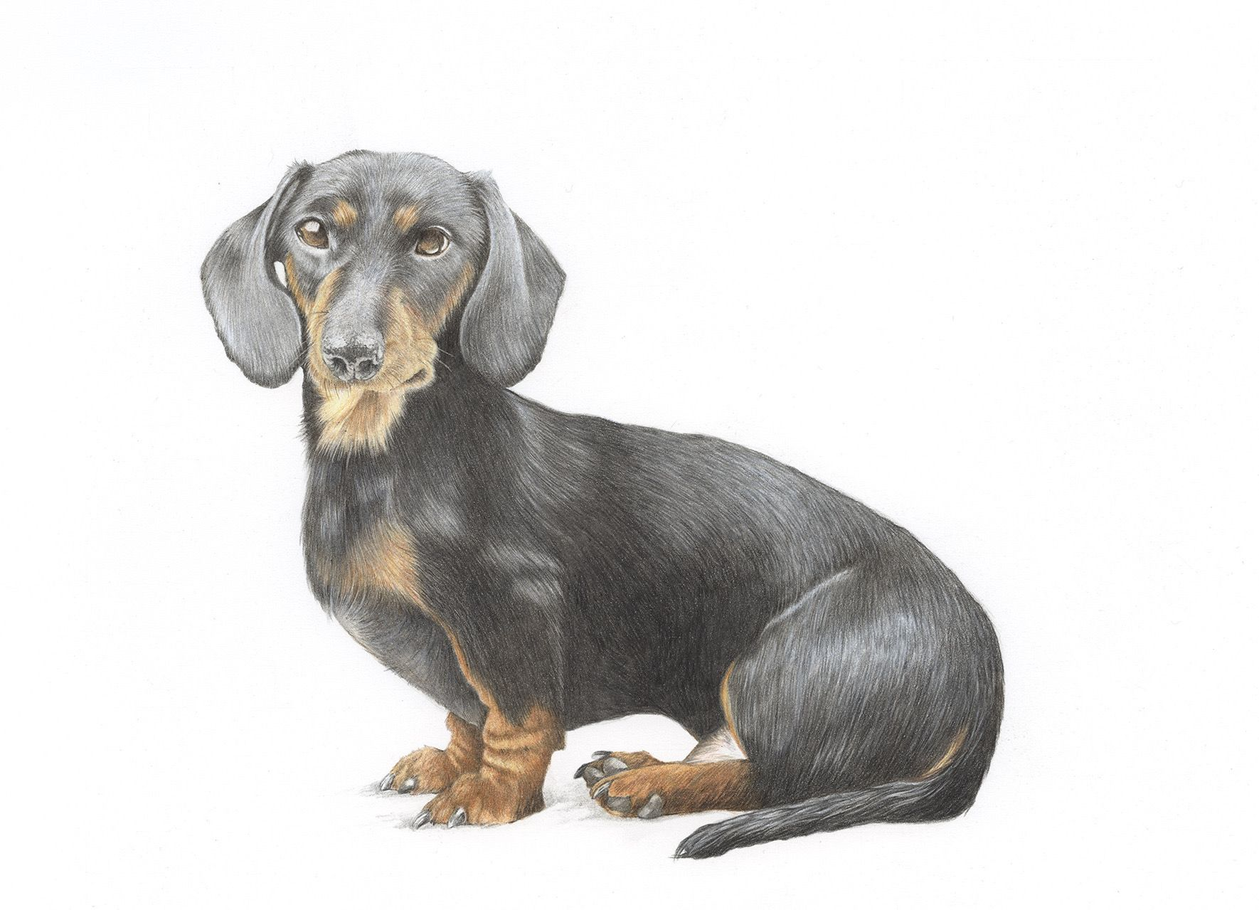 Dachshund Pet Portrait