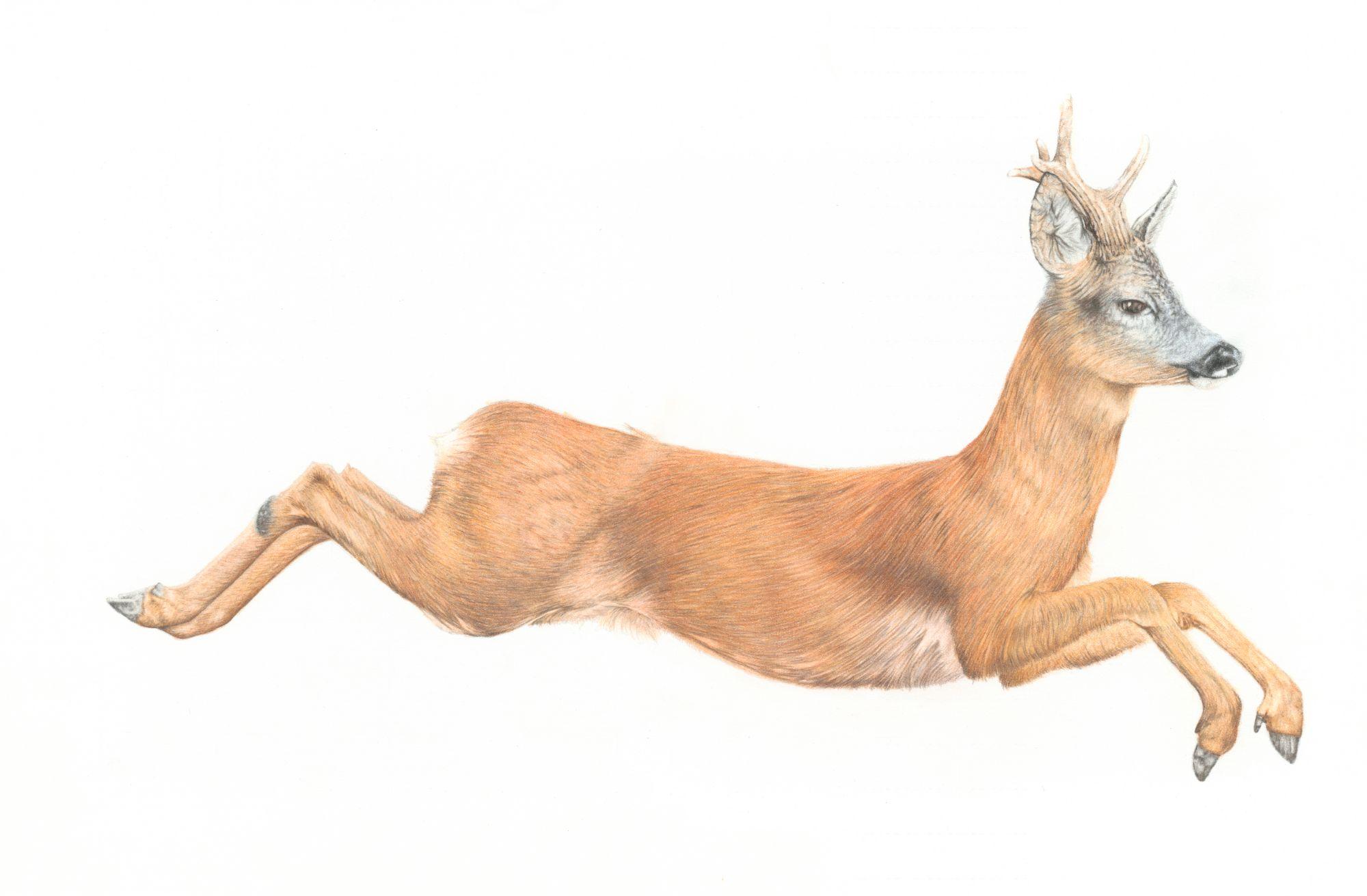 Roe Deer Art