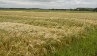Grayingham barley