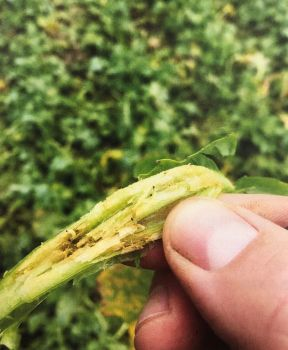 CSFB Cabbage Stem Flea Beetle OSR Oilseed Rape Helix Article Image AAF imag