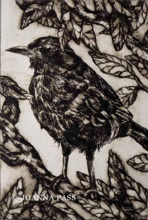 Rowan Blackbird