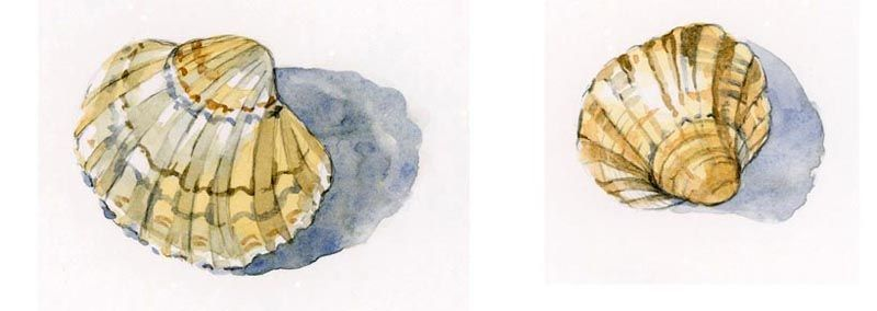 cockle shells