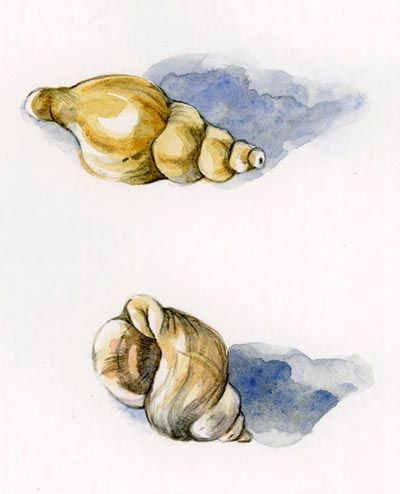 whelk shells