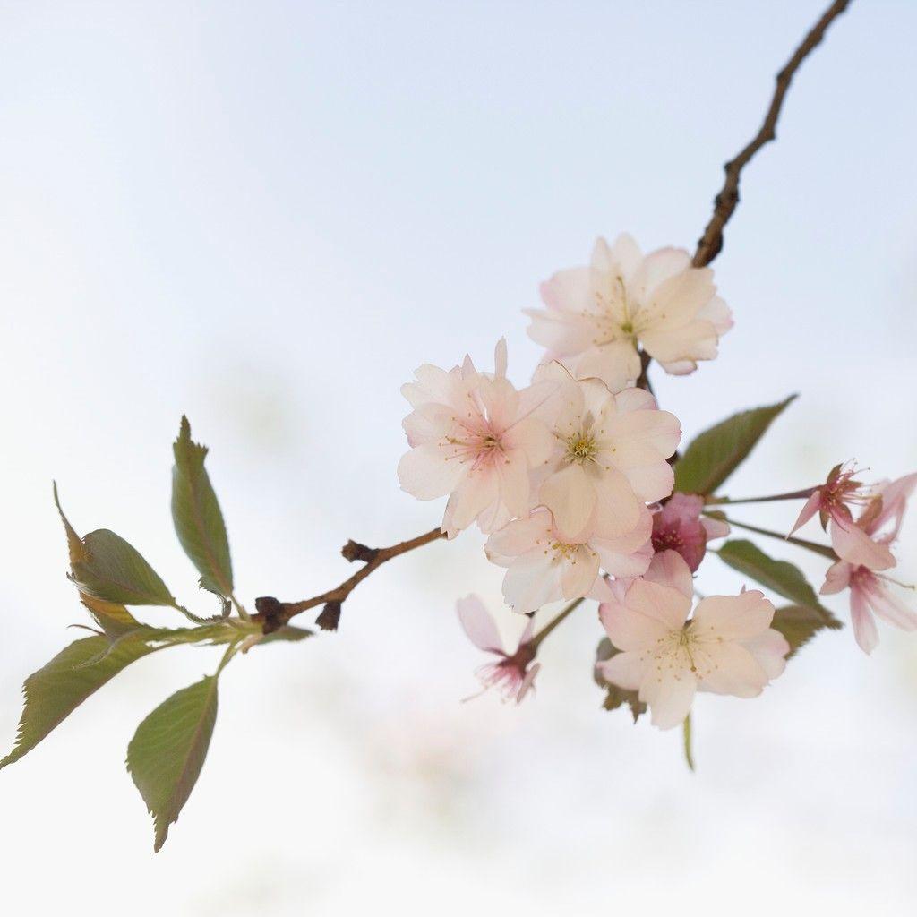 Blossom -2