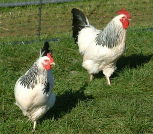 Chickens LSx Pair