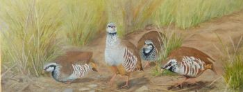 Red Leg Partridge