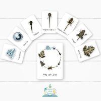 Flashcards - Frog Life cycle